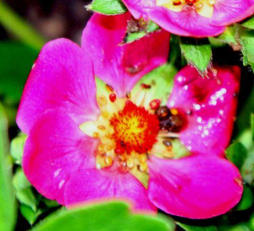 fraisier fleur rouge romi 11 avril 044.jpg