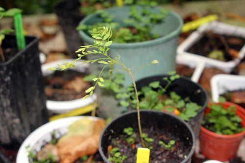 gleditsia japonica 7 oct 2012 001.jpg