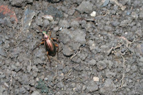 a carabus auratus  romi 25 oct 2008 (5).jpg