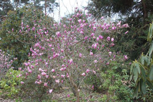 magnolia susan gb 9 avril 2012 199 (1).jpg