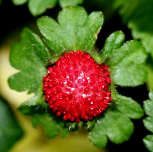 duchesnea fruit 14 juin.jpg
