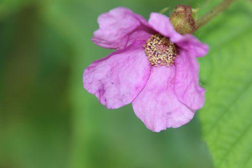 rubus odoratus romi 16 juil 2014 067 (1).jpg