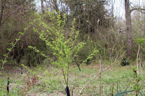 prunus salicina romi 20 avril 2013 112.jpg