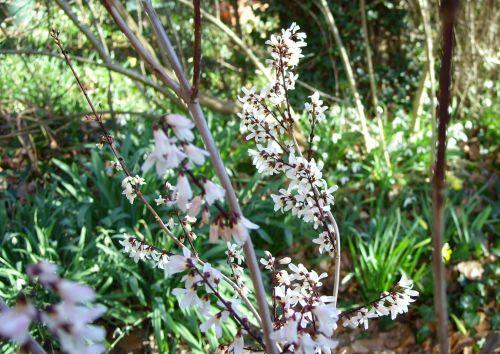 b abeliophyllum 10 fev 074.jpg