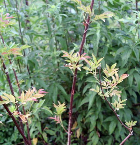 canad rouge romi 5 juil 2010 088.jpg