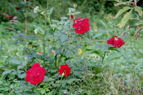 red parfum romi 15 sept 018.jpg