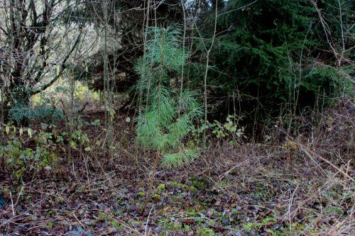1 pinus nigra romi 7 janv 2014 007.jpg