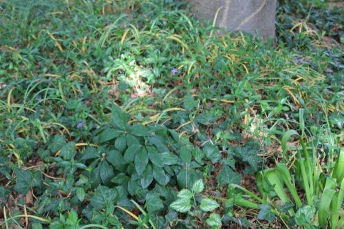5 helleborus orientalis veneux  mai 2016 001.jpg
