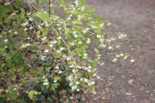 2 lonicera fragrantissima veneux 27 fev 2017 002.jpg