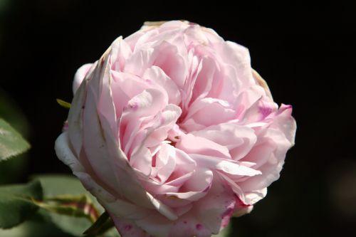 rosa x borboniana paris 4 mai 063.jpg