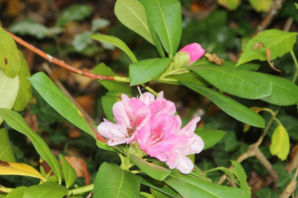 Rhododendron christmas cheer fait du z le sureaux - Rhododendron ne fleurit pas ...