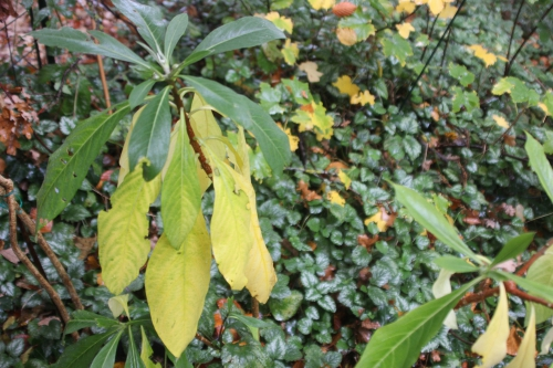 edgeworthia veneux 28 oct 2015 013 (1).jpg