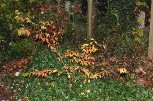14 prunus subhirtella veneux 15 nov 2014 004.jpg