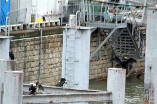 2 cormoran paris 12 janv 2013 020.jpg
