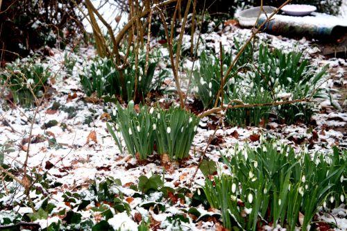 neige elwesii 20 février 004.jpg