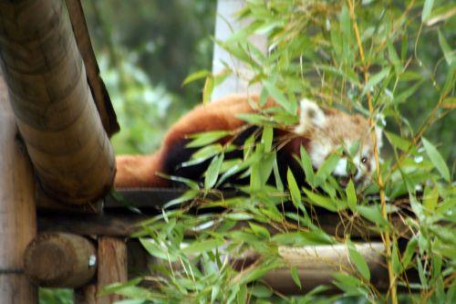 petit panda repas 9 fev 065.jpg