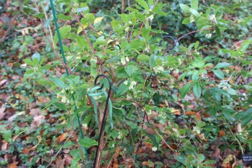 arbutus andrachnoides veneux 27 nov 2016 010.jpg