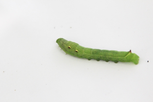 deilephila elpenor romi 28 aout 2017 021 (2).jpg