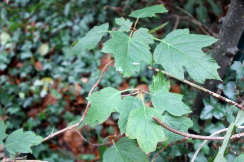6 hydrangea quercifolia veneux 9 déc 2012 001.jpg