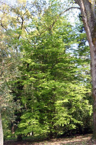 1 parrotia barres 9 avril 2011 087.jpg