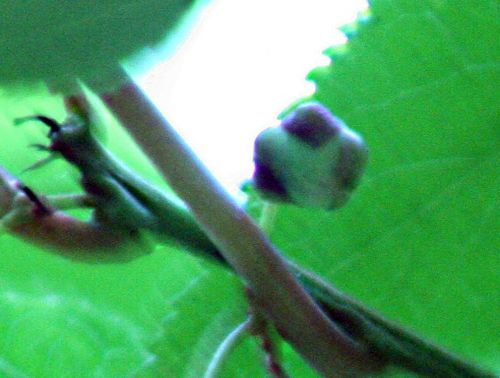 actinidia x bouton 5 juin pp 030.jpg