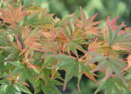 acer palmatum gb 21 oct 2012 171 (1).jpg