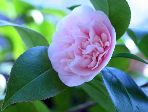 camellia 20 mars 006.jpg