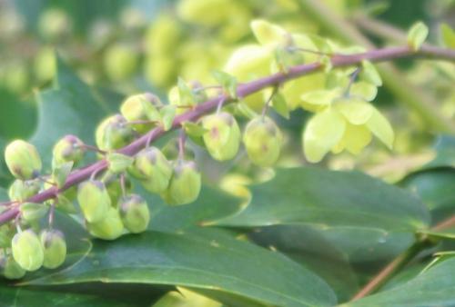 4 mahonia japonica fl veneux 3 mars 2017 IMG_2669 (2).jpg