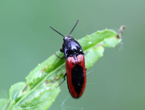 6 ampedus sanguinolentus romi 30 mai 2012 093 p (7).jpg