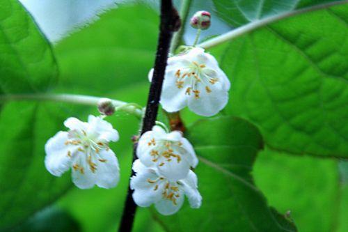kolomikta fleurs pp 12 mai 014.jpg