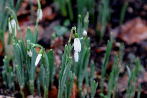 galanthus veneux 28 déc 2012 012.jpg