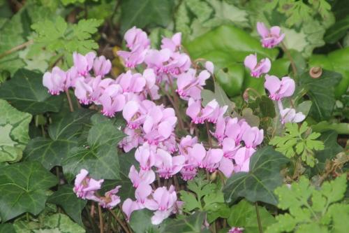 1 cyclamen hederifolium veneux 19 sept 2017 002.jpg