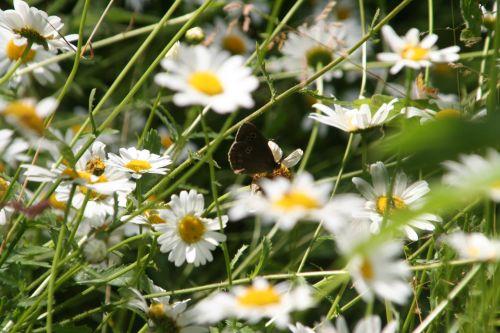marguerites papillon romi 22 juin 063.jpg