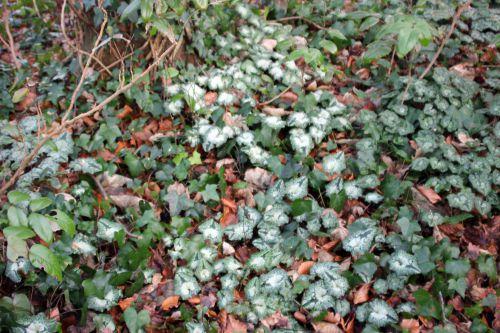 10 cyclamen hederifolium veneux 4 janv 2014 001 (1).jpg