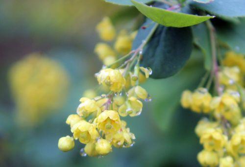 berberis vulgaris grappe gb 18 mai 2013 134.jpg