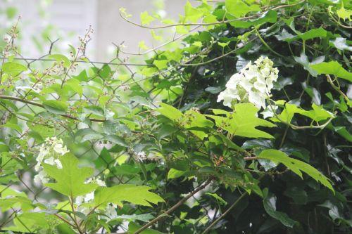 hydrangea quercifolia veneux 24 juin 2012 003.jpg