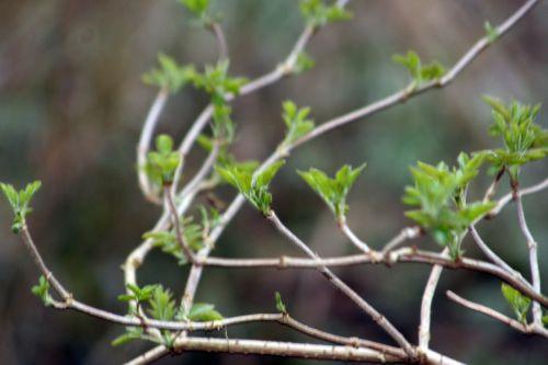 palmensis 5 mars 007.jpg