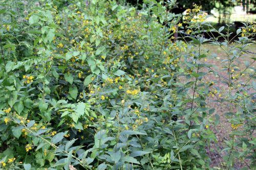 5 lysimachia vulgaris romilly 29 juil 2012 067.jpg