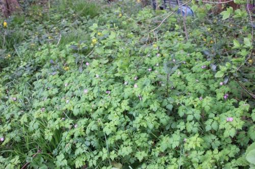 3 geranium robert veneux 29 avril 2016 001.jpg