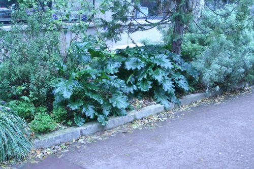 acanthus mollis 2 paris 25 dec 003.jpg