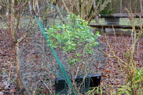 4 arbutus romi 30 janvier 2013 008 (1).jpg