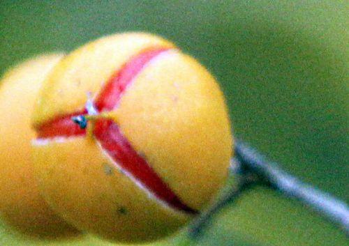 6 celastrus fr barres 13 oct 2012 p 138.jpg