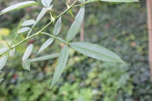 zanthoxylum subtrifoliatum 26 août 2017 005.jpg