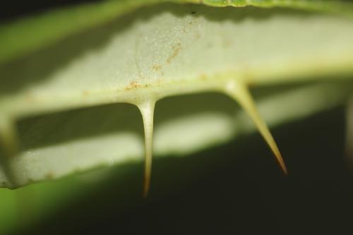 zanthoxylum subtrifoliatum 21 août 2015 001 (1).jpg
