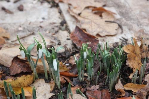 3 galanthus elwesii monostictus veneux 9 dec 2015 010 (6).jpg