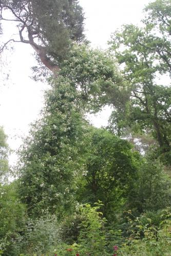 15 rosa longicuspis gb 14 juin 2015 026.jpg