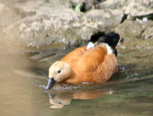 canard roux sens 29 juil 131.jpg