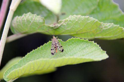 mouche scorpion fem romi 9 août 2014 052 (4).jpg