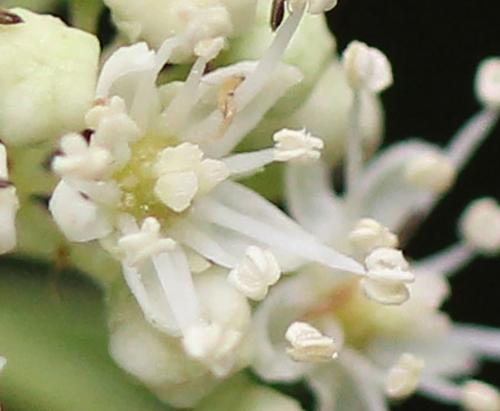 4 bretsch fleur 10 mai 2011 013.jpg