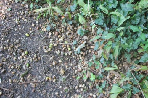 quercus pedonculata veneux 20 sept 2017 005.jpg